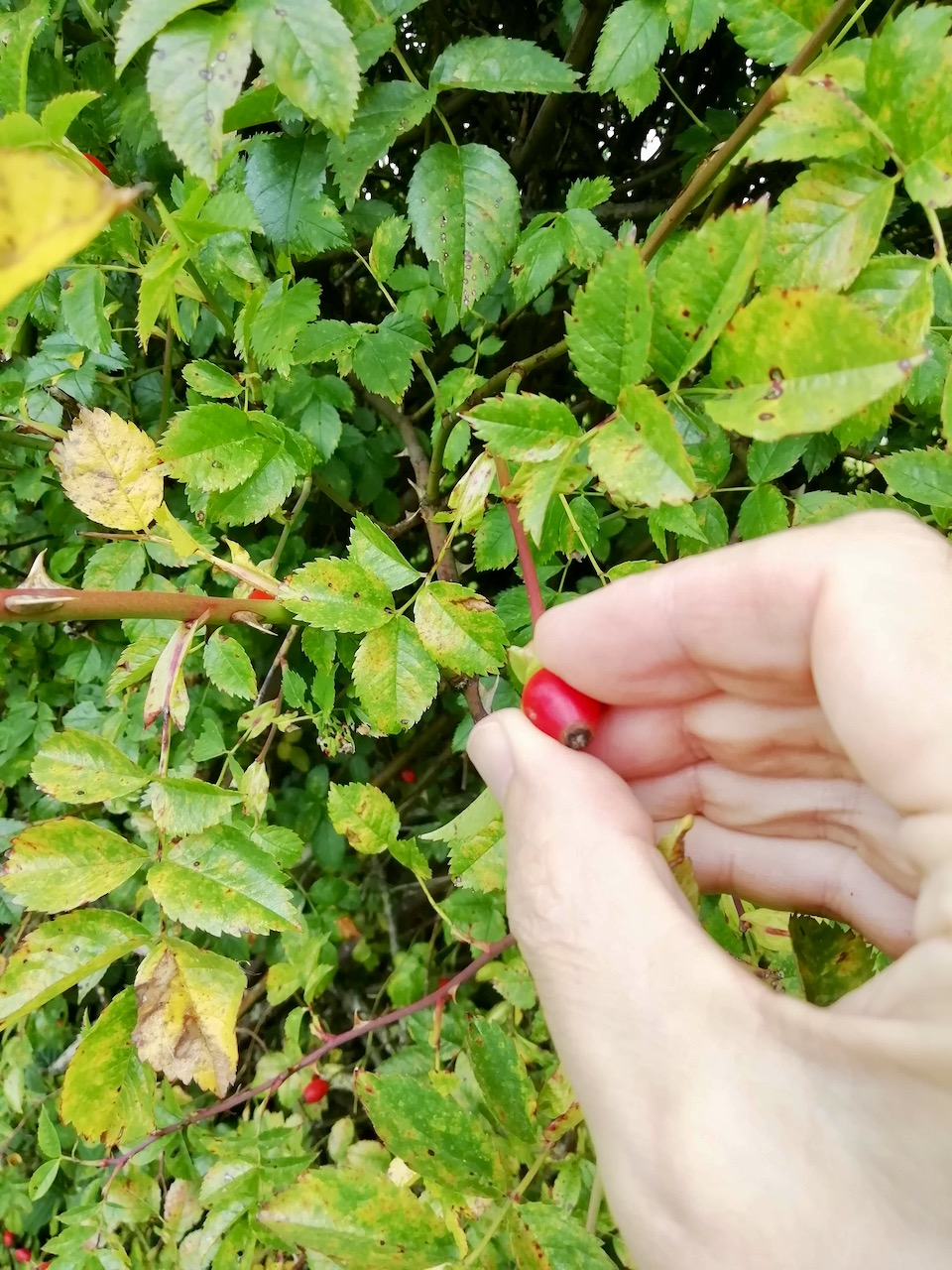 Picking Rosehips